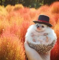 """フォロワー40万・ハリネズミの日常が世界で人気、飼い主に聞く""""トゲモフ""""の魅力"""