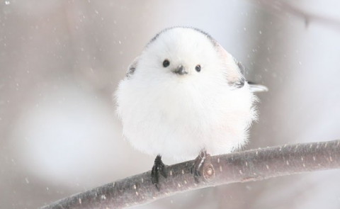 北海道に生息する野鳥・シマエナガ