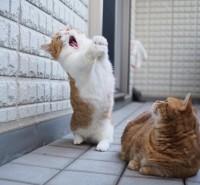"""シャウトする猫に世界中が衝撃、""""マンチ立ち""""が得意な短足マンチカン兄妹の日常とは"""