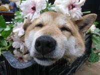 """「上司が犬なんです」管理職""""ワンコ""""に癒される人続出…花に埋もれ""""何もしない""""激務こなす"""
