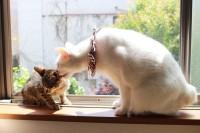 保護中の猫を優しく見守る「#コトの育児」 心温まる愛情たっぷり猫家族の毎日