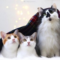 """しっぽの先までラブラブ…保護猫のそら&双子猫""""アメカヌ""""と飼い主の愛に溢れた毎日"""