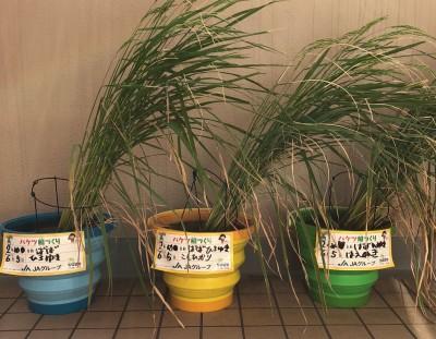 馬場さんが自宅のベランダで育てた『バケツ稲』の様子。写真:本人提供