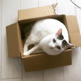 """箱が大好きな""""モフモフ3匹""""トン・シノ&たねお 無条件で幸せになれる「猫あるある」"""