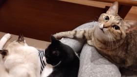 """愛猫3匹が狙うは太もも!? 飼い主ならではのうれしい悩み""""ふみふみ"""""""