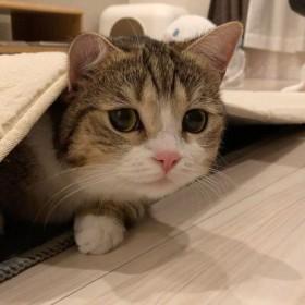 """「なぜそこに?」フォロワー10万超え、猫好きに癒し与える""""マンチカン""""の譲れない場所"""