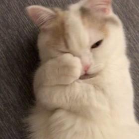 """ぎゅ〜からの舌ペロに猫好きが悶絶 甘えん坊ミヌエットの""""眠い""""のサイン"""