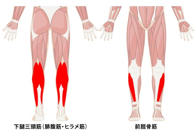 下腿三頭筋(腓腹筋・ヒラメ筋)と前脛骨筋