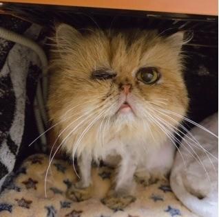 劣悪な環境にいたペルシャ猫たち
