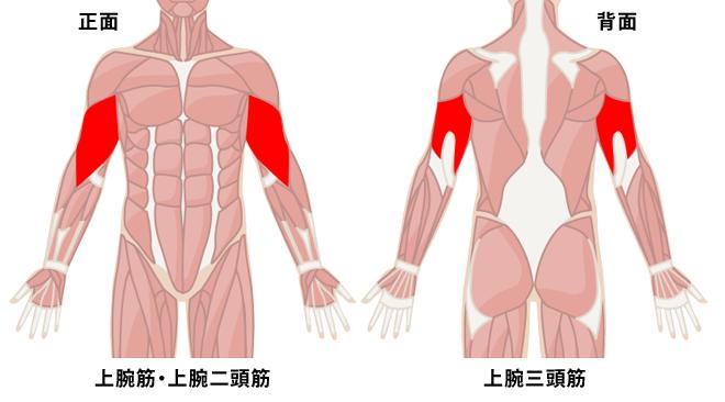 上腕 三 頭 筋 上腕三頭筋の正しい鍛え方は?普段動かさない部位を鍛える筋トレ