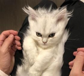 """「誰かスカウターで戦闘力計測して」SNSで話題になった""""スーパーサイヤ猫"""" かわいさの裏にあった現代猫の悲しい出会い"""