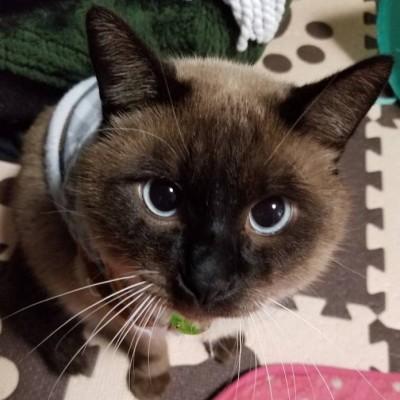 タヌキ似の雑種猫『たぬ吉』(写真:ねこけんブログより)