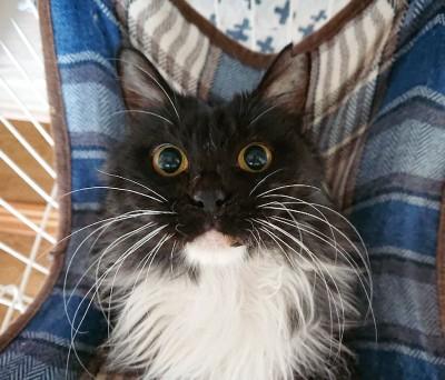 妖怪のようだった『にどみちゃん』はすっかり美猫に(写真:ねこけんブログより)