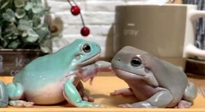 カエルがカエルをビンタ!?(画像提供:ぴよ@カエルと暮らすさん)