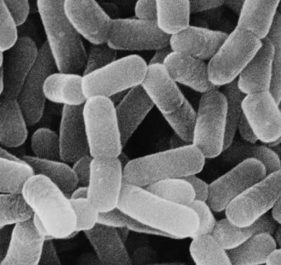 乳酸菌シロタ株 (画像提供:ヤクルト本社)