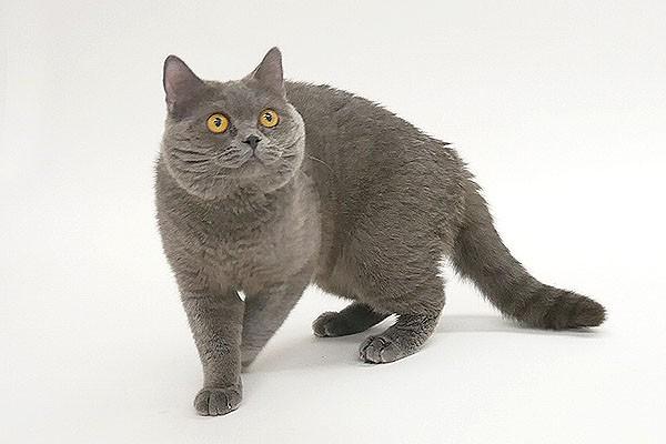 CMで人気の猫、