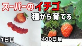 """スーパーで買ったイチゴから栽培、愛情たっぷりの""""再生栽培""""動画が話題「植物の生命力感じる」"""