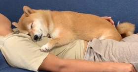 まったり柴犬の昼寝姿に「恋人と過ごす甘い時間のよう」