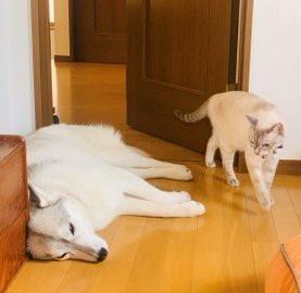 """シベリアンハスキーと""""鬼教官""""のような猫の攻防戦"""