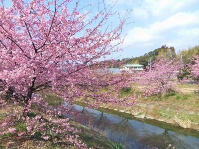 東大 山 の 河津 桜 2020