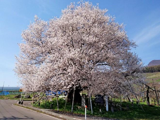 サムネイル 北信州・山ノ内町の桜の里「宇木の古代桜」で遅い春を楽しむ