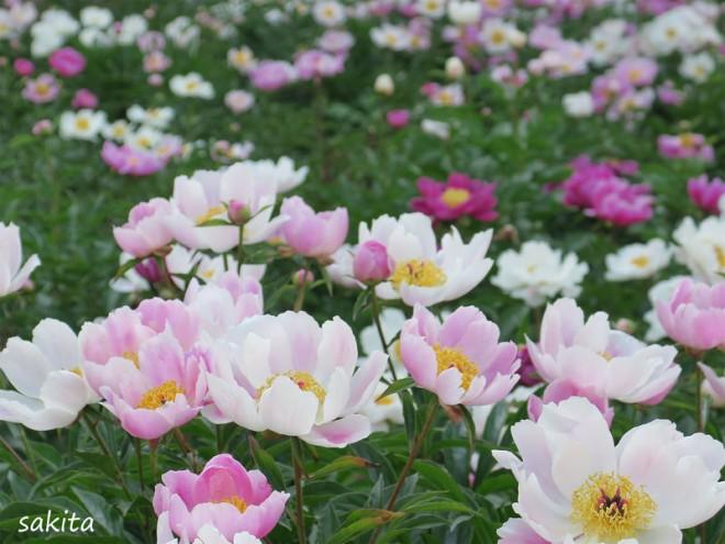 サムネイル 圧巻のお花畑!牡丹&シャクヤク園「つくば牡丹園」が期間限定で開園