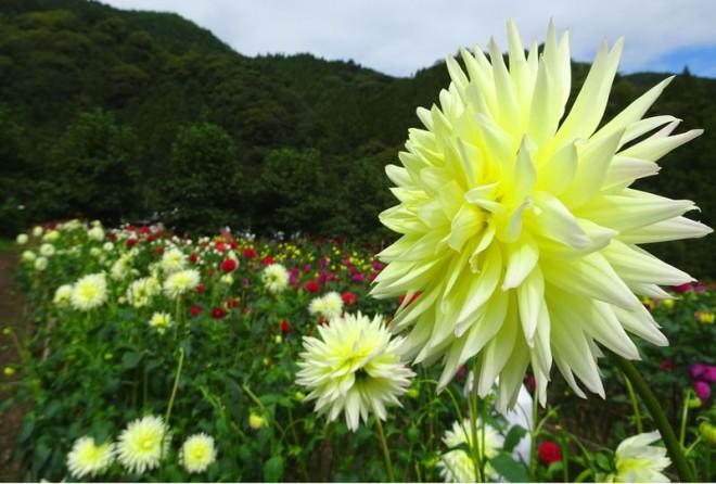 サムネイル 人気の観光地・秩父にダリアが咲き乱れる!「両神山麓 花の郷 ダリア園」