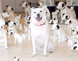 日本ビクター犬・ニッパーくん100匹に囲まれたカイくん