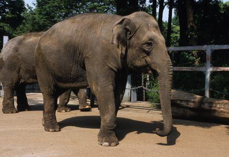 妊娠が確定した上野動物園の「アーシャー」
