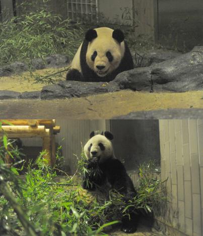22日に発表された2頭のパンダの様子 (上)飼育舎内でソワソワしているオス(下)与えられた竹を食べるメス