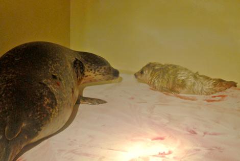 サムネイル 福島で被災したゴマフアザラシのクララが出産 見つめ合うゴマフアザラシの親子