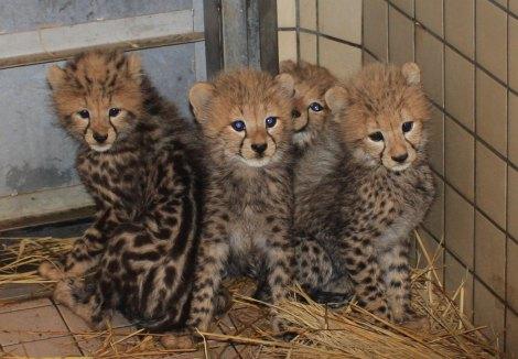 """サムネイル チーターの赤ちゃん4頭の名前が決定! キングチーター(左)は「なでしこジャパン」と同じ""""ナデシコ""""に"""