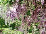 コーセーが香り解析・再現に成功した、マメ科のつる性植物・藤の花