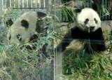 上野動物園のジャイアントパンダ、リーリー(左)とシンシン(右) (C)ORICON DD inc.