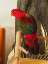 赤と緑の配色が美しいショウジョウインコ@東京・木場「鳥のいるカフェ」 (C)ORICON NewS inc.
