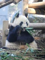 今月19日から展示を再開する上野動物園のジャイアントパンダ・シンシン(2月25日撮影)