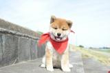 カレンダーも発売されるなど、知名度・人気ナンバー1の愛され犬・一郎が帰ってくる(C) 2014「幼獣マメシバ 望郷篇」製作委員会