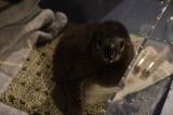 フサフサな毛に覆われたマゼランペンギンの赤ちゃん (C)ORICON NewS inc.