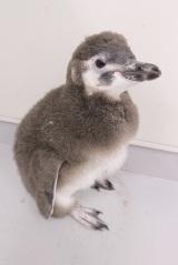 「はっぴ」と命名された、マゼランペンギンの赤ちゃん (C)すみだ水族館