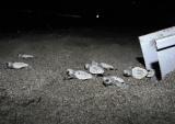 海を目指し、砂浜到着した子ガメたち (C)鴨川シーワールド