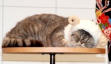 CMで共演したブサかわ猫レオンくん。会見中は寝ていました。=キヤノン『PIXUS スマフォトプリント!年賀状』新作CM発表会