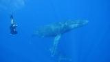 クジラと一緒に泳ぐ伊藤英明。CBC・TBS系『伊藤英明が大接近!奇跡の海のザトウクジラ〜いのちの星の親子たち〜』1月24日放送(C)CBC