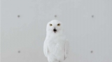 富士通「LIFEBOOK GH77/T」の新CM動画『Free as a Bird』篇。シロフクロウが表すものとは?