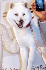 『ソフトバンク記者発表会』に出席した白戸家のお父さん犬 (C)ORICON NewS inc.