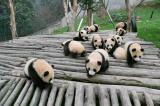 中国世界最大のパンダの生息地・パンダ基地。かわいいパンダの赤ちゃんを抱っこし、写真を撮るのにはいくらかかるのか?