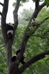 第4回中国の回に登場する木登りの得意な子パンダたち(C)2016 NHK
