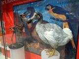 オックスフォード大学自然史博物館に展示されている『不思議の国のアリス』に登場するドードー鳥の標本 (C)ORICON NewS inc.