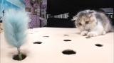 10月14日放送テレビ東京系『超かわいい映像連発!どうぶつピース!!』に登場するスコティッシュフォールド(猫パンチエクササイズに登場)(C)テレビ東京