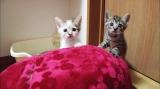 10月14日放送テレビ東京系『超かわいい映像連発!どうぶつピース!!』に登場するミックス猫(C)テレビ東京