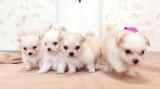 10月21日放送テレビ東京系『超かわいい映像連発!どうぶつピース!!』より。チワマル(チワワとマルチーズのミックス犬)(C)テレビ東京